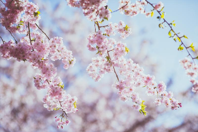 満開の桜の中、白無垢で和装前撮りをされた先輩花嫁さまのご紹介